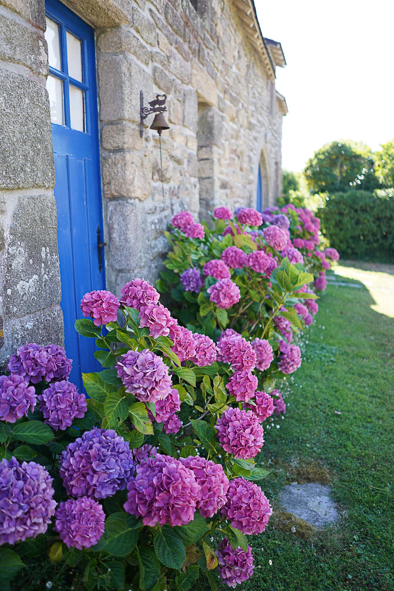 hortensia bretagne